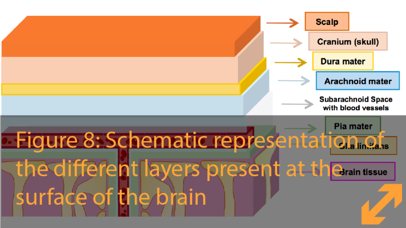 Barriers at the surface of the brain